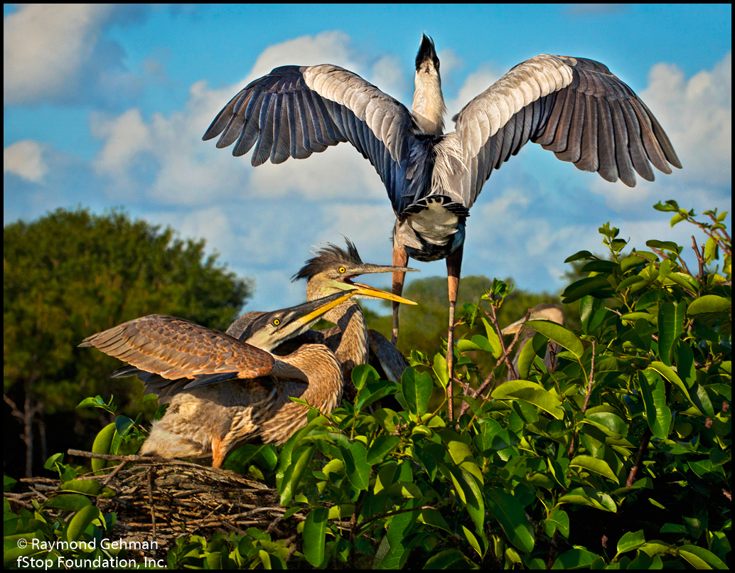 018 APRIL 24--WAKODAHATCHEE-GREAT BLUE HERON CHICKS-2013 059