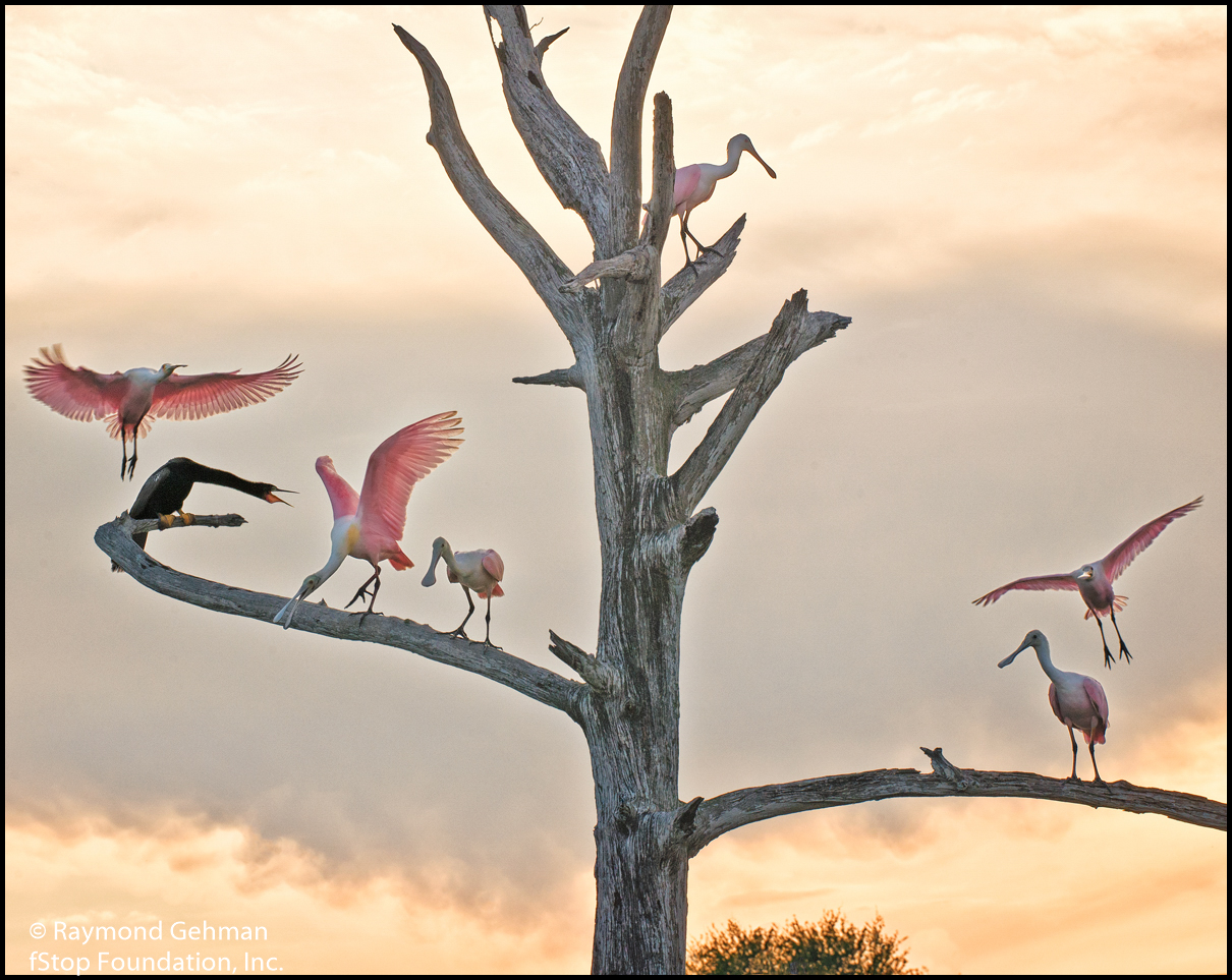 01 APRIL 1-GREEN CAY WETLANDS-ROSEATE SPOONBILLS-2015 596 Nik-copy1200pixels