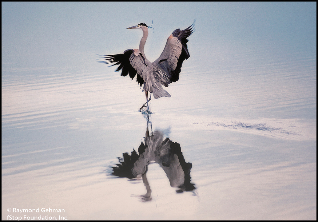 01 BLACKWATER-NWR-MD-GREAT-BLUE-HERON-LANDING-1992