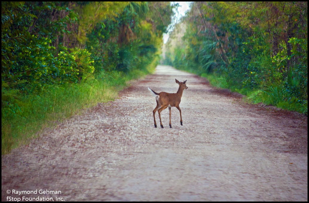 023 NOV 26--BIG CYPRESS NAT PRESERVE-WHITE-TAILED DEER-SPIKE--2013 231 1024wide