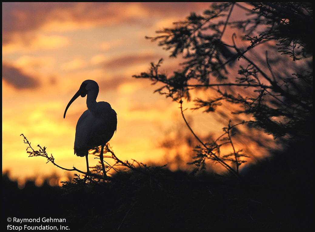 066 MARCH 18--FLORIDA--GREEN CAY--IBIS AT SUNSET--2012 020