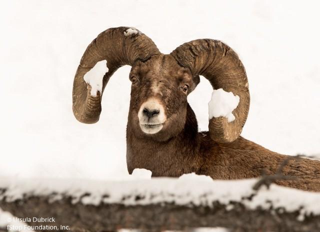 BIG HORN SHEE
