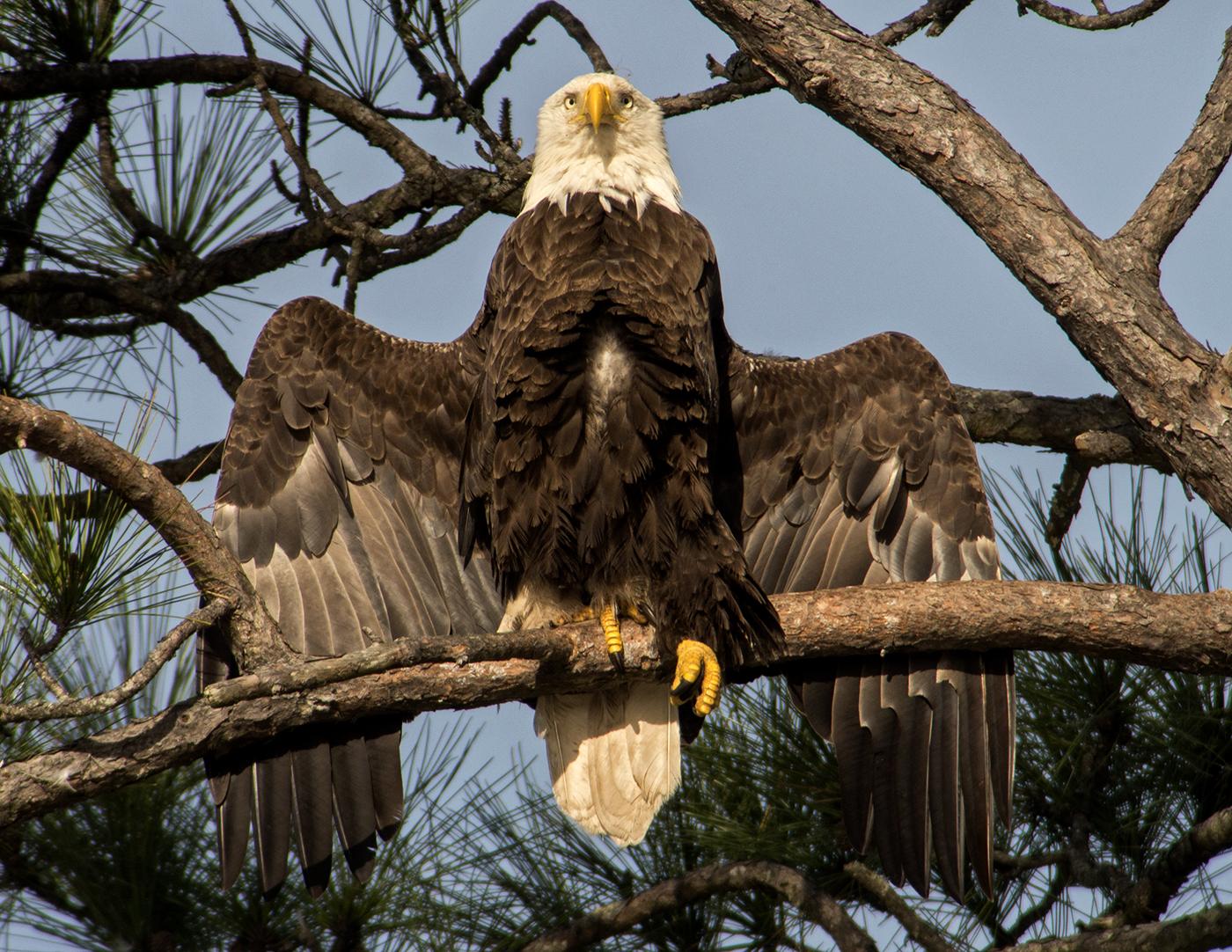 Bald Eagle Florida