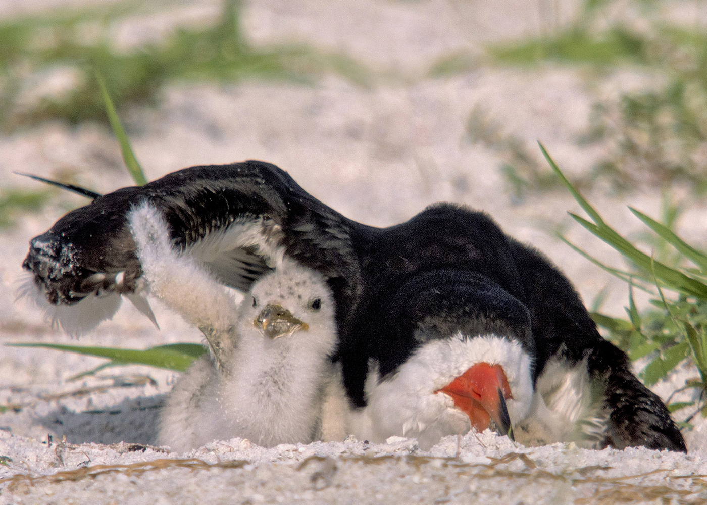 Black Skimmers Florida
