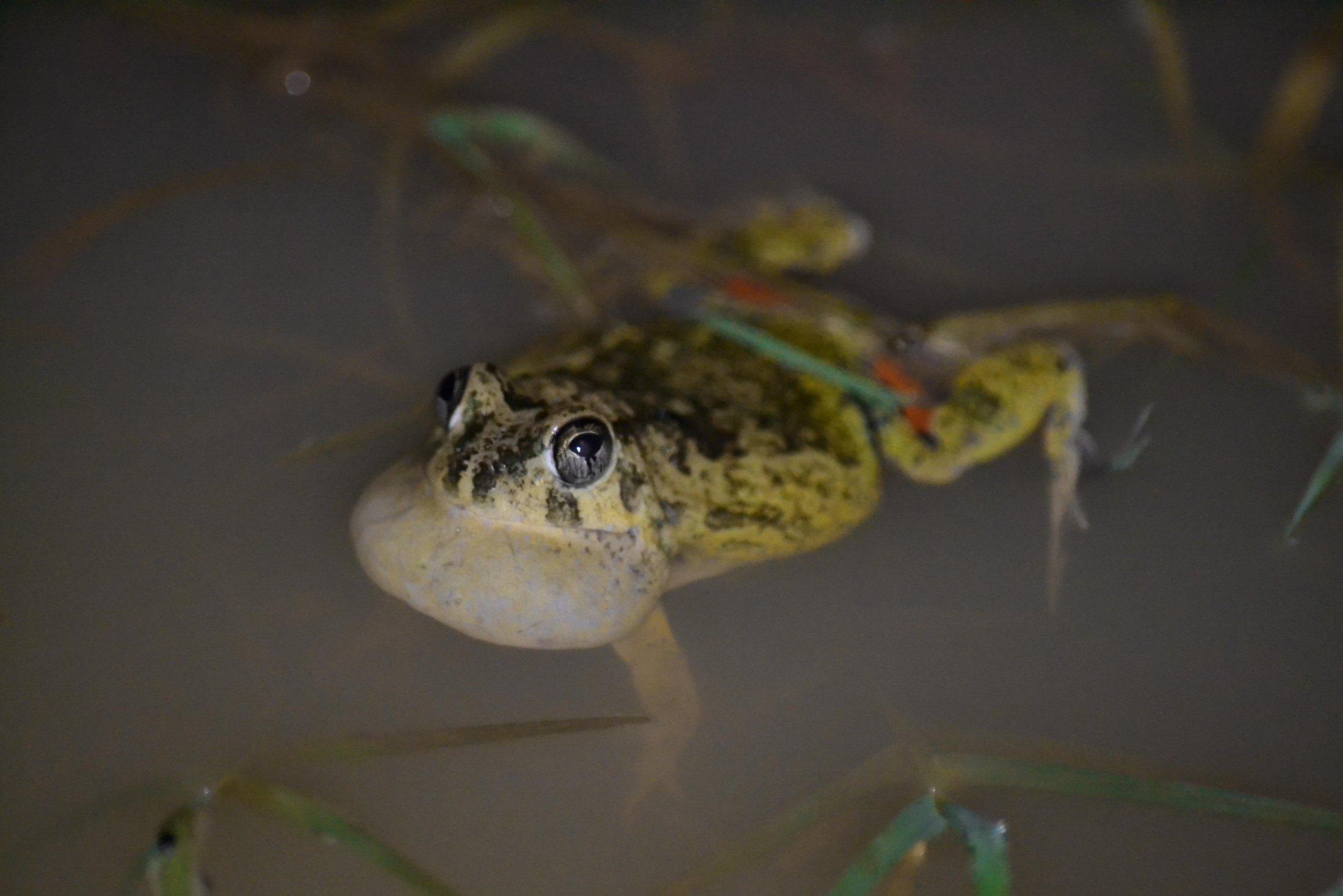 Four-eyed Frog.1