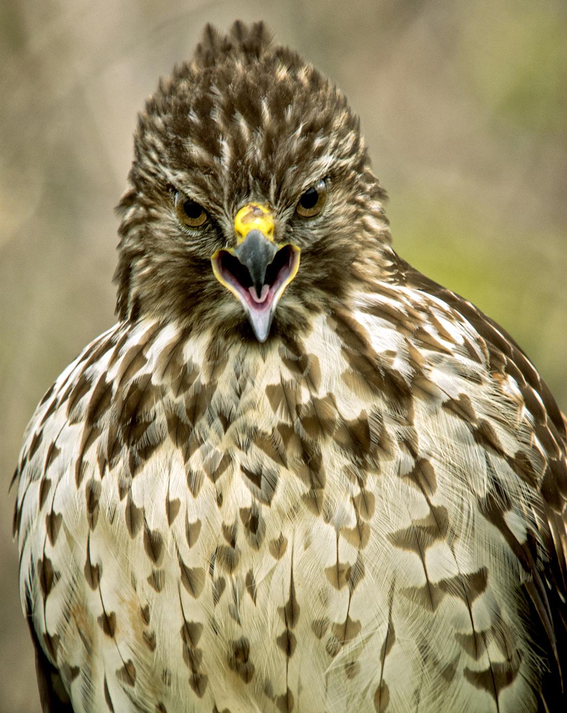 Red Shouldered Hawk Florida