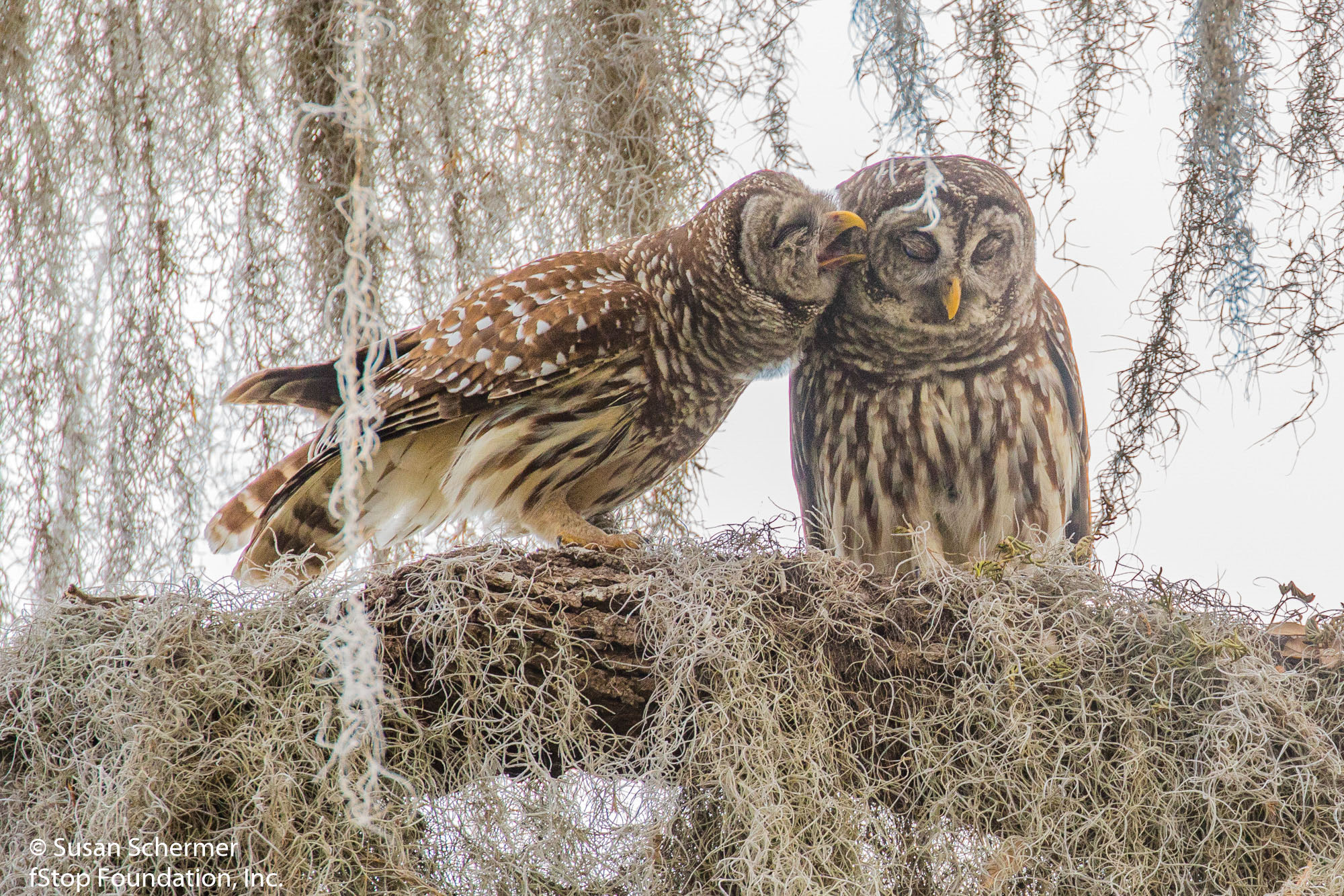 Barred Owls-2254