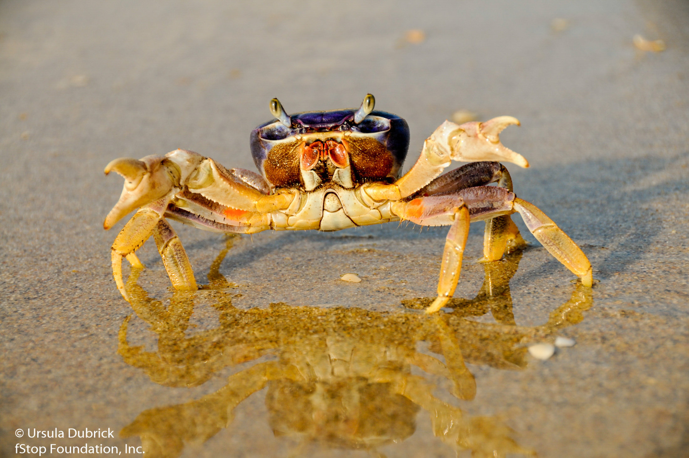 Blue Land Crab