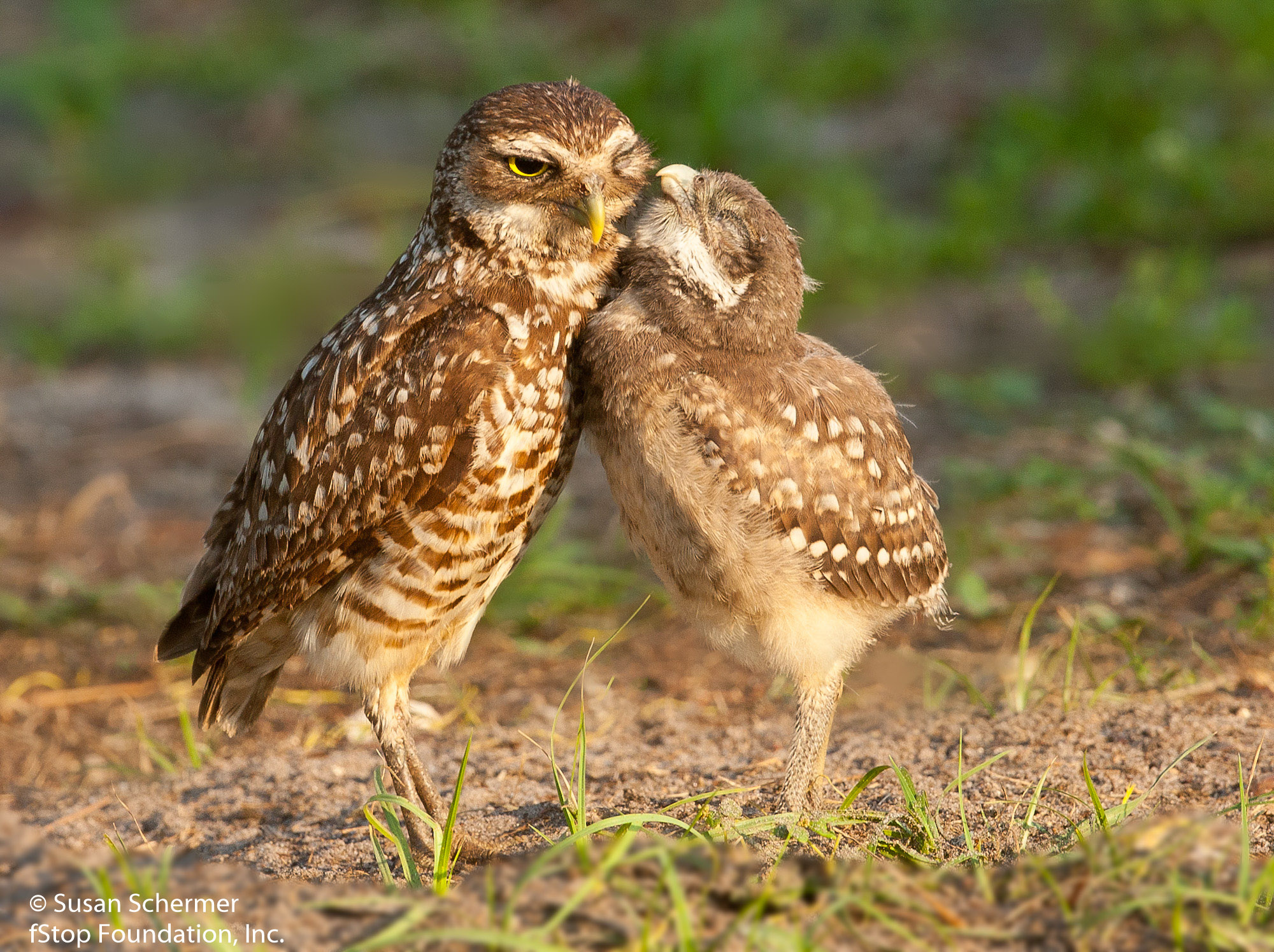 Burrowing Owls-9692