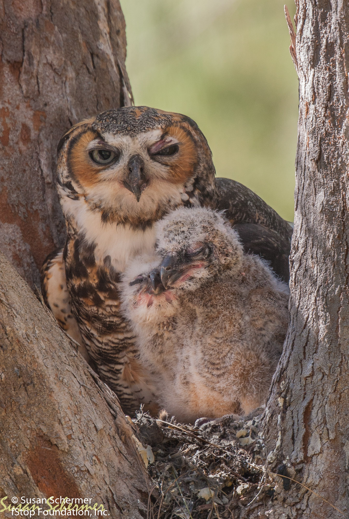 Owl & Chicks-6583