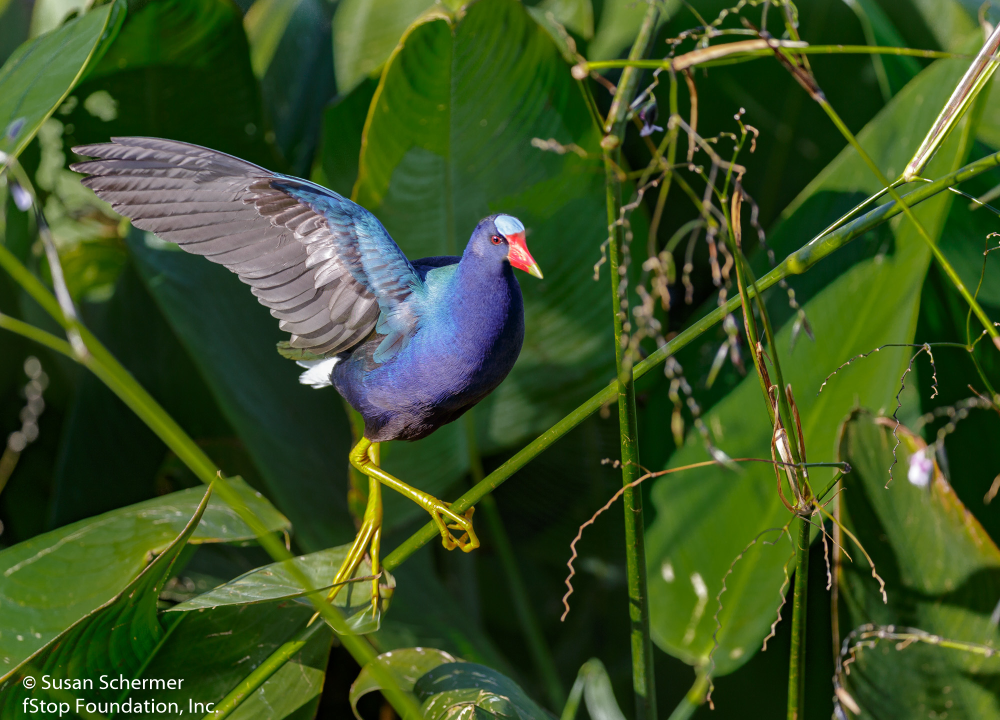Purple Gallinule--2