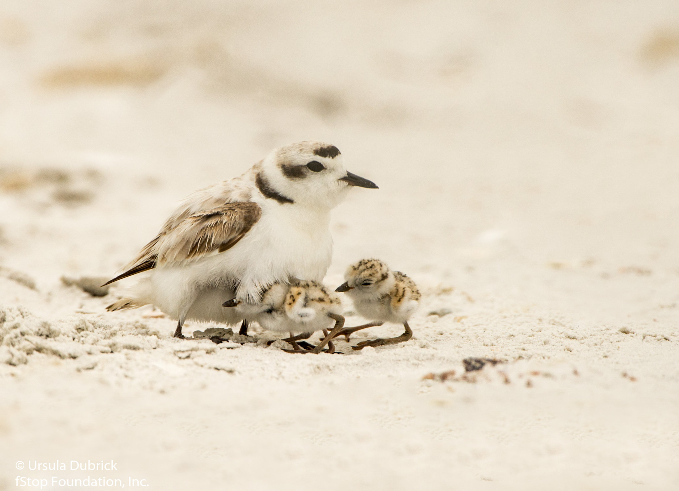 Snowy Plover Chicks