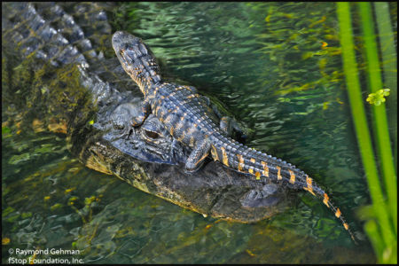 011 MARCH 8--FLORIDA--SHARK VALLEY AND BIG CYPRESS NP--ALLIGATOR AND HATCHLING--2012 110