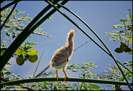 017 APRIL 24--WAKODAHATCHEE-LEAST BITTERN CHICK--2013 028