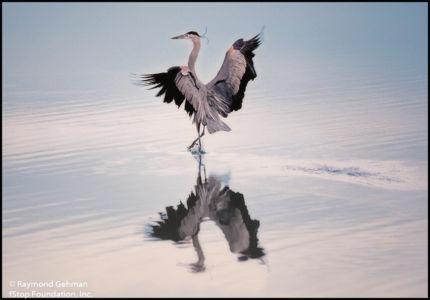 01 BLACKWATER-NWR-MD-GREAT-BLUE-HERON-LANDING-1992