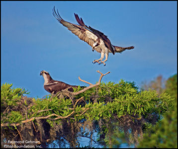 020 BLUE CYPRESS LAKE-2-OSPREY--2014 039 Nik-copy