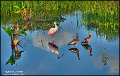 027 APR 24-WAKODAHATCHEE-ROSEATE SPOONBILL-WHISTLING DUCKS-2013 169 70 71