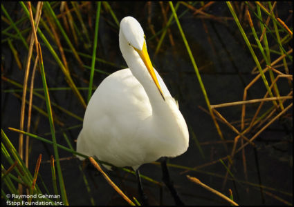 02B DEC 12-FLORIDA 2-WAKODAHATCHEE-GREAT WHITE EGRET-2011 084