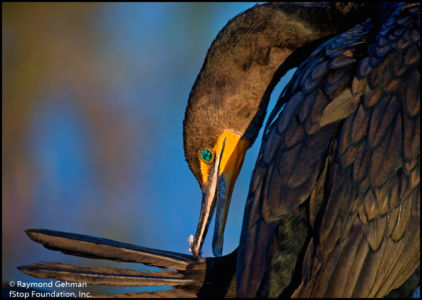 02 FEB 13-EVERGLADES NP-ANHINGA TRAIL-CORMORANT-2015 167 Copy