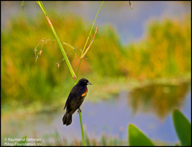 037  DEC 14-WAKODAHATCHEE-SUNSET-RED-WINGED BLACKBIRD-2013 020
