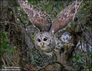 048 OCT 21-FLORIDA 5-DINNER ISLAND RANCH-flying BARRED OWL-2011 164