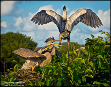 058 APRIL 24--WAKODAHATCHEE--500--GREAT BLUE HERON CHICKS--2013 059