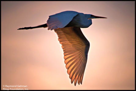 062 DEC 12-WAKODAHATCHEE-SUNSET-FLYING EGRET-2013 127