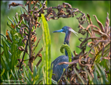08 APRIL 1-GREEN CAY WETLANDS-TRI-COLORED HERON-2015 473 1200-pixels-best
