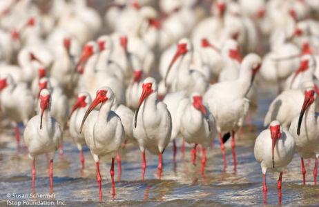 20080321 Ibis-flock 1048