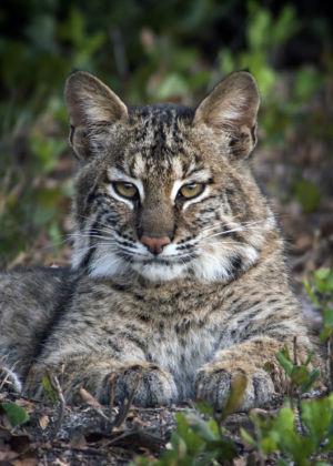 Bobcat Florida