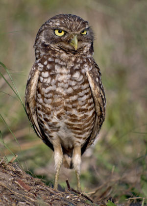 Burrowing Owl Florida