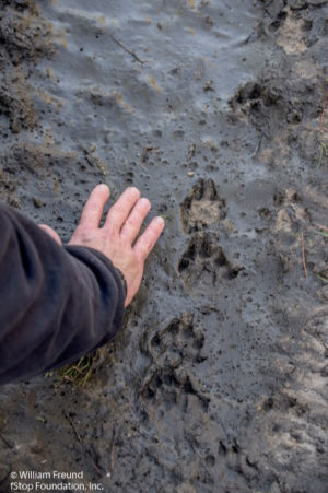 CANINE TRACKS AT SPIRIT OF THE WILD - Copy