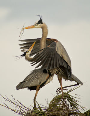 Great Blue Herons Florida