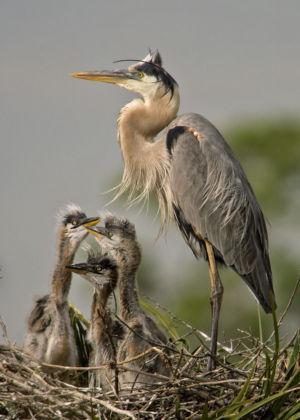 Great Blue Herons Florida (1)