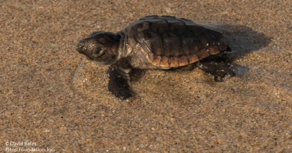 Leatherback Baby-2