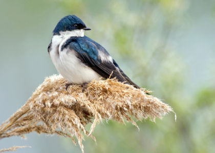 Tree Swallow Ohio