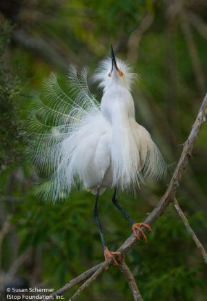 Snowy Egret-1016