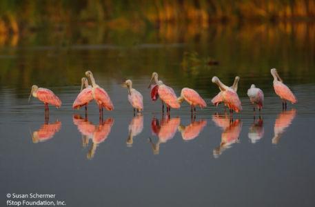 Spoonbills-
