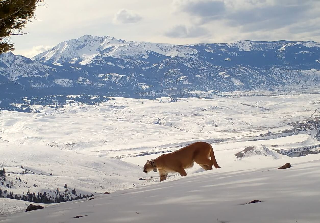 Yellowstone Cougar Project
