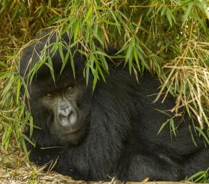 gorillaingrass