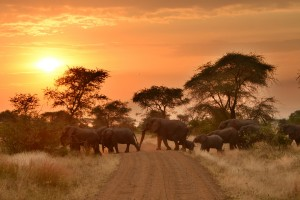 ELEPHANT SUNSET CROSSING